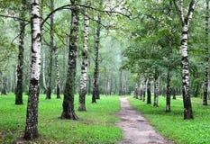 De steeg van berkbomen in de mist van de de zomerochtend stock afbeeldingen
