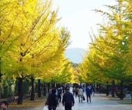 De steeg van Gingkobomen in Japans park stock afbeeldingen