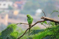 De steek van de papegaaivogel op boom Stock Foto