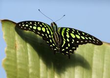 De steel verwijderd van Jay Butterfly in Chester Zoo Royalty-vrije Stock Afbeelding