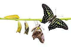 De de steel verwijderde van cyclus van het de vlinderleven van Jay Graphium agamemnon stock afbeelding