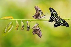 De de steel verwijderde van cyclus van het de vlinderleven van Jay Graphium agamemnon stock fotografie