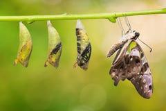 De steel verwijderde van de vlinder en de poppentransformatie van Jay Graphium agamemnon stock afbeeldingen