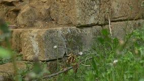 De steen blokkeert muurruïnes in bos stock footage