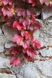 De steen blokkeert oude muur, met bladeren unpon het Stock Foto