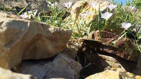 De steen en de bloemenachtergrond, lichtrode Doornappel, worden 'heilige Doornappel 'verdeeld op de rotsen, zijn zeer kalmerend a stock videobeelden