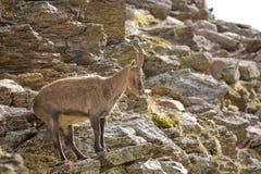 De Steenbok van Capra Stock Afbeelding