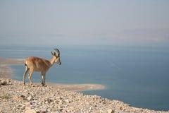 De Steenbok van Nubian Royalty-vrije Stock Afbeeldingen