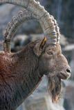 De Steenbok van Nubian stock foto's