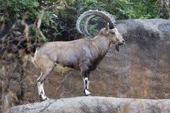 De Steenbok van Nubian Royalty-vrije Stock Fotografie