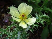 De stekelige papaver heeft perfecte bloemblaadjes Royalty-vrije Stock Foto's