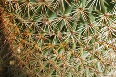 De Stekels van de cactusinstallatie royalty-vrije stock afbeelding