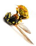 De stekende Gele Wesp van het Jasje stock foto