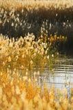 De stelen van het riet in het moeras royalty-vrije stock afbeelding