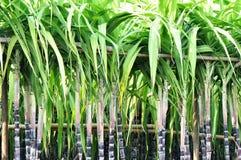 De stelen van het suikerriet regelmatig met bamboepool royalty-vrije stock afbeeldingen