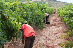 De Stellenbosch-wijn landt gebied dichtbij Cape Town. Royalty-vrije Stock Afbeeldingen