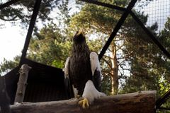 De stellers overzeese adelaar zit op een boom in strikt stelt stock afbeeldingen