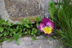 De stenen van de viooltjebloem Royalty-vrije Stock Foto