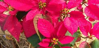 De ster van Kerstmis Poinesettia stock foto's