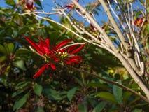 De ster van Kerstmis Poinsettiasymbool van Kerstmis Rode bloem van Wolfsmelk Royalty-vrije Stock Foto