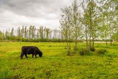 De sterke donkere bruine gekleurde stier van Galloway weidt calmly in gra Royalty-vrije Stock Afbeelding