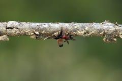 De sterke en bedrijvige mier draagt zaden Royalty-vrije Stock Afbeeldingen