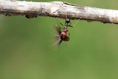 De sterke en bedrijvige mier draagt zaden Royalty-vrije Stock Foto