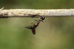 De sterke en bedrijvige mier draagt zaden Stock Foto