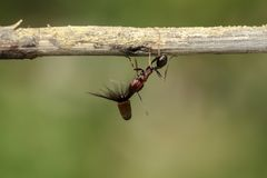De sterke en bedrijvige mier draagt zaden Stock Afbeelding