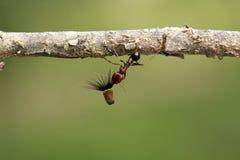 De sterke en bedrijvige mier draagt zaden Royalty-vrije Stock Foto's