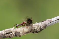 De sterke en bedrijvige mier draagt zaden Stock Foto's