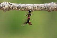 De sterke en bedrijvige mier draagt zaden Stock Afbeeldingen