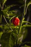 De sterke hete peper van Carolina Reaper royalty-vrije stock afbeeldingen