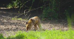 De sterke rode korrel van het vos mannelijke eathing graan in het bos stock footage