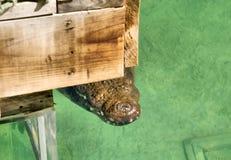 De stiekeme krokodil wacht op prooi Stock Foto's