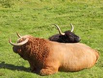 De stier en de koe van het hoogland Stock Foto
