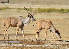 De Stier en de Ooi van Kudu stock foto's
