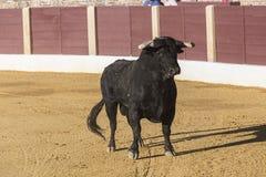 De stier ongeveer 650 Kg die in het zandrecht galopperen toen ik enkel uit werd bullpen, in de Baeza arena Stock Foto's