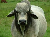 De Stier van Brahma Stock Afbeeldingen
