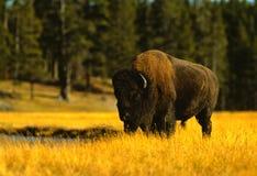 De Stier van de bizon Stock Afbeeldingen