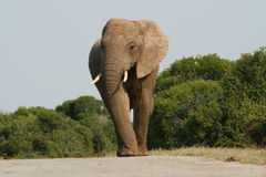De Stier van de olifant stock foto