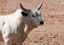 De Stier van de rodeo royalty-vrije stock foto