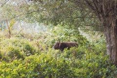 De stier van Galloway Stock Foto's