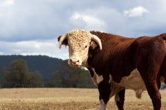 De stier van Hereford. Royalty-vrije Stock Foto
