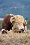 De stier van Hereford. Royalty-vrije Stock Fotografie