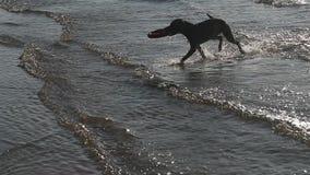 De stier van de hondkuil het spelen in water stock videobeelden
