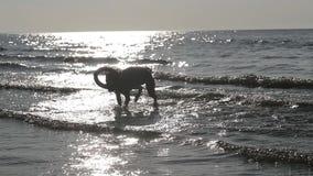 De stier van de hondkuil het spelen in water langzame motie stock video