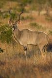 De Stier van Kudu Royalty-vrije Stock Afbeelding