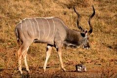 De stier van Kudu Royalty-vrije Stock Fotografie