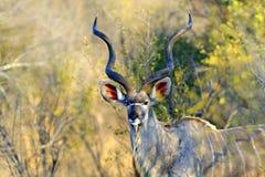 De stier van Kudu stock fotografie
